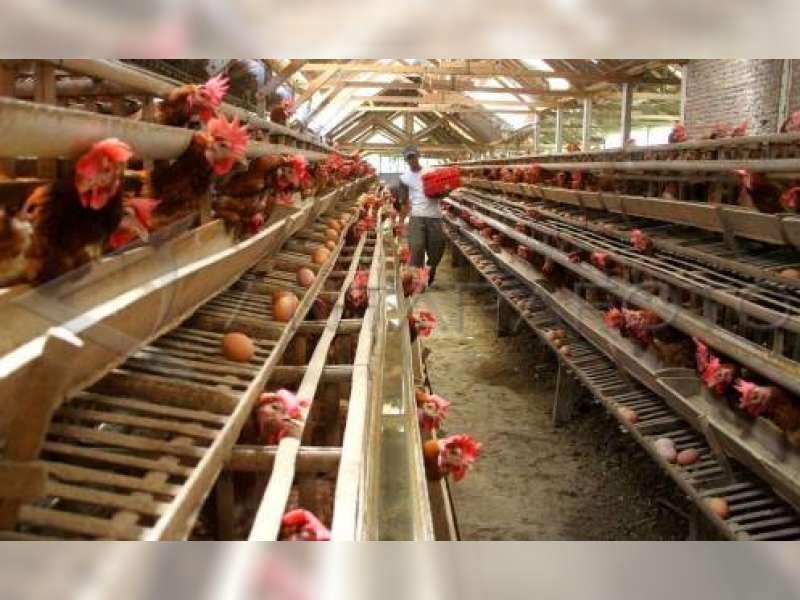 Produksi Telur Ayam Di Bojonegoro Masih Minim