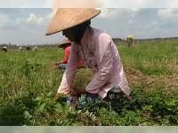 Panen Bawang Merah Petani di Blora Meningkat