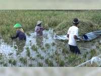 Terendam Banjir, Petani Terpaksa Panen Dini Tanaman Padi
