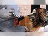 Disnakan Bojonegoro Imbau Peternak Unggas Lakukan Vaksin Anti Flu Burung