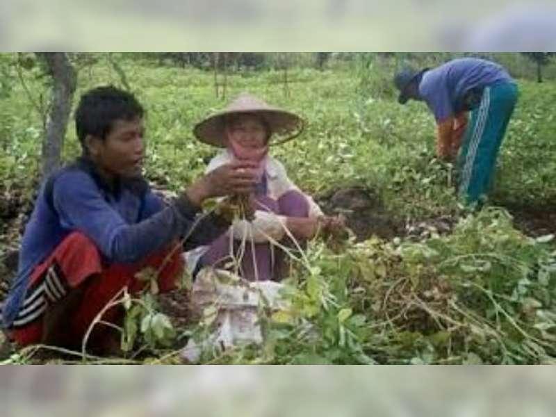 Dinas Pertanian Bojonegoro, Beri Pendampingan Petani Kacang Tanah