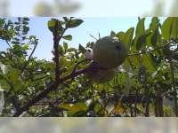 Desa Pagerwesi Kecamatan Trucuk Bojonegoro, Kembangkan Wisata Agro Jambu Kristal