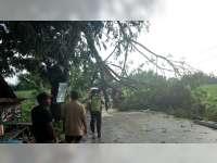 Akibat Angin Kencang, Sejumlah Pohon di Padangan Bojonegoro Roboh
