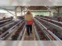 Dari Telur Menetas Ekonomi Produktif