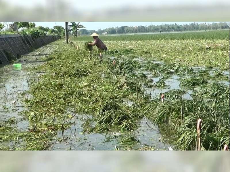 Terendam Banjir Bengawan Solo, Ribuan Hektare Tanaman Padi Petani di Tuban Membusuk