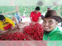 Harga Cabai Merah Besar di Bojonegoro Turun, Petani Merugi