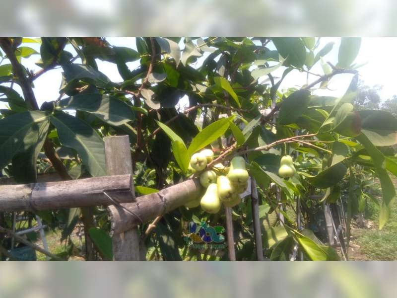 Satu Lagi Objek Wisata di Bojonegoro, Agrowisata Petik Jambu Madu di Desa Dengok Padangan