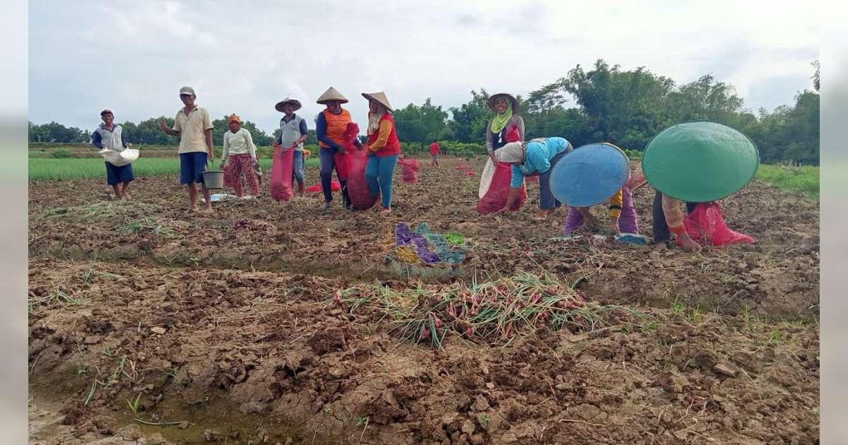 Harga Bawang Merah Merosot Petani Di Kedungadem Bojonegoro Merugi Beritabojonegoro Com